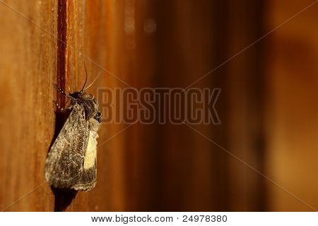 Moth sittin on wooden wall in artificial light