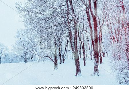 Winter Landscape With Falling Snow - Wonderland Forest With Snowfall And Sunlight Over Winter Grove.