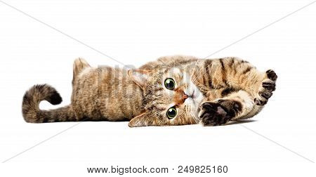Portrait Of A Charming Cat Scottish Straight Lying Isolated On White Background