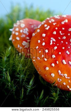 Mushrooms Fly Agaric  In Summer Forest