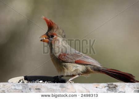 Female northern cardinal at a bird feeder on a windy day. poster