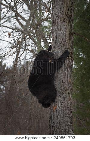 Black Bear (ursus Americanus) Climbs On Tree - Captive Animal