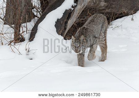 Canadian Lynx (lynx Canadensis) Stalks Forward - Captive Animal