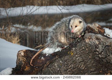 Opossum (didelphimorphia) Turns Drooling - Captive Animal