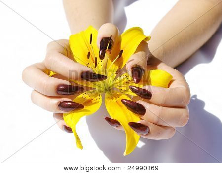 femal hands with red nails and yellow lily and on white background