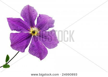 Meadow violet flower on a white background