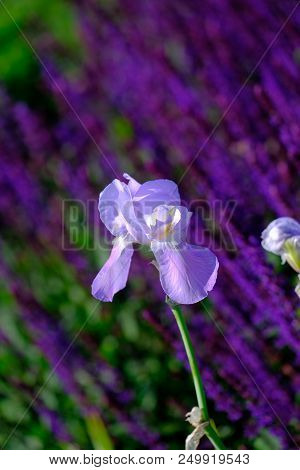 Pale Blue Iris In Garden Agains T A Background Of Lavender