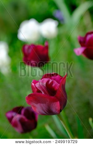 Close Up Of Dark Red Tulip Flower With Others In Background