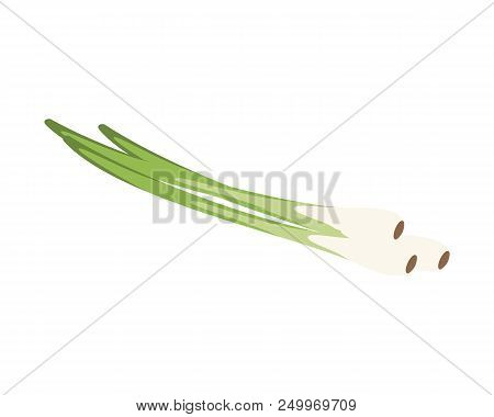 Vector Chive Illustration Isolated In Cartoon Style. Herbs And Species Series
