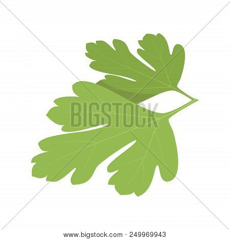 Vector Coriander Illustration Isolated In Cartoon Style. Herbs And Species Series