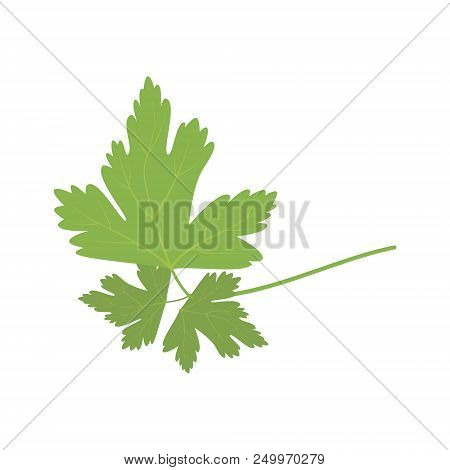Vector Parsley Illustration Isolated In Cartoon Style. Herbs And Species Series