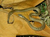Brown Snake (Storeria dekayi) at Kickapoo State Park in central Illinois. poster