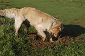 Golden Retriever dog digging hole in grassy field poster
