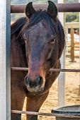 Horse waiting to be freed up in Rancho Oso, California poster