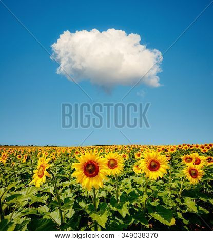 Splendid scene of bright yellow sunflowers with white fluffy clouds on a sunny day. Location place Ukraine, Europe. Photo of creativity concept. Agrarian industry. Perfect wallpaper. Beauty of earth.