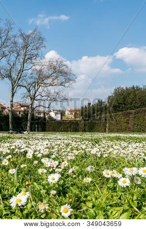 Florence, Italy - 26, March, 2016: Vertical Picture Of Beautiful Garden With Daisy Flowers At Boboli