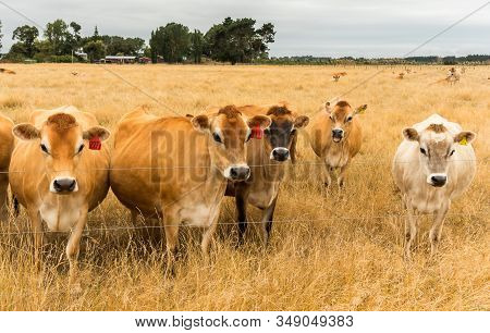 Small Group Of Brown Cows In A Very Dry Paddock In Summer.