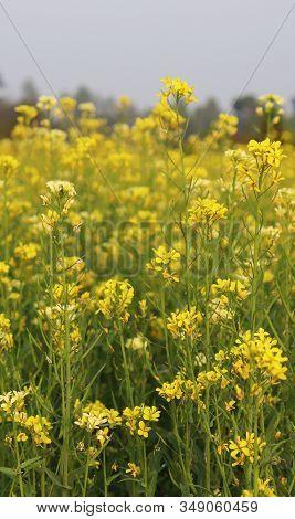 Mustard Flower Backgrounds. Yellow Mustard Flower In The Fields