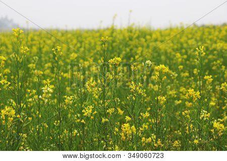 Yellow Mustard Flower In The Fields, Bangladesh