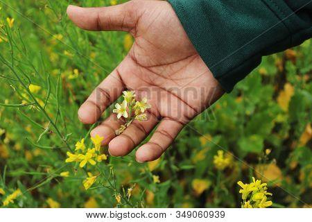 Mustard Flower. Beautiful Yellow Mustard Flower On Hand