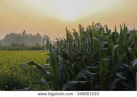 Corn Fields And Mustard Fields With Sunlight