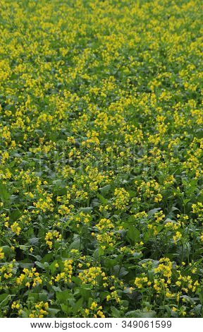 Lots Of Yellow Mustard Flower In The Fields. Mustard Flower Backgrounds