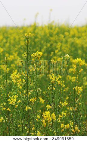 Mustard Tree And Yellow Mustard Flower, Bangladesh