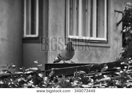 A Pigeon Walks Quietly On A Wooden Fence At The Tranquil Area Of The Capital Of Estonia, Tallinn.