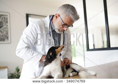 Veterinary examining puppy dog clinic