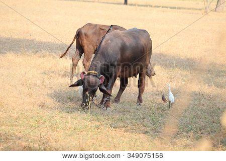 A Buffalo Grazing Dry Grass In Field Of Agriculture, Outdoor Buffalo Animals, Wild Buffalo, Single B