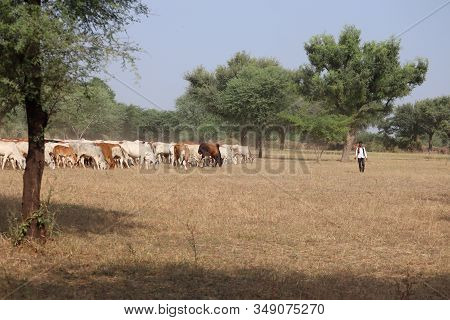 Many Cows In Dry Grasses Farm , Landscape Photography,orange Cows , Black Cows, Brown Cows, White Co