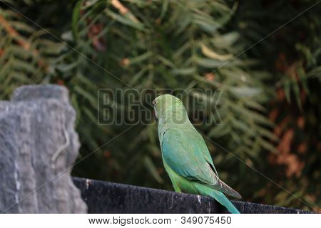 Back View Of Parrot On Iron Rod, Outdoors Birds,also The Blue-crowned Green Parrot, Luzon Parrot, Th