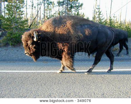 Bison Taking The High Road