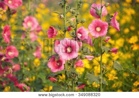 Hollyhock Flower (althaea Rosea Or Alcea Rosea) Blooming In The Garden With Blured Yellow Cosmos Flo