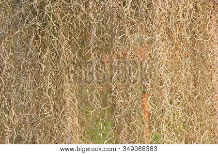Spanish Moss (tillandsia Usneoides) Form As Natural Curtain, Suitable As Background