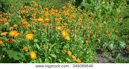 Calendula Officinalis Or Pot Marigold, Common Marigold, Scotch Marigold, Ruddles, Pot Marigold Herba