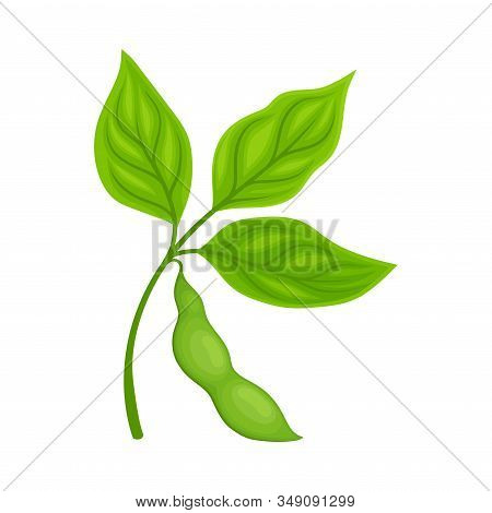 Green Soya Plant With Pod Isolated On White Background Agricultural Crop Item