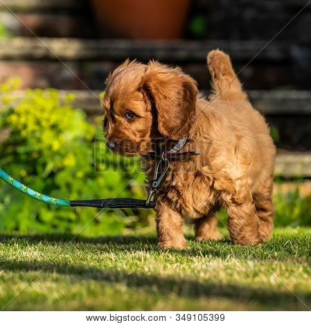 A Young Red Cockapoo Puppy Being Playful In Its Owners Garden In Its Owners Garden
