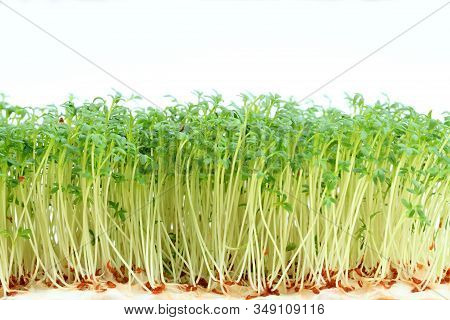 Garden Cress On White Background. Young Cress, Lepidum Sativum, Growing From Cotton Wool. Also Calle