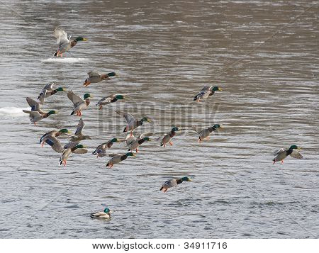 Landing Mallard Flock