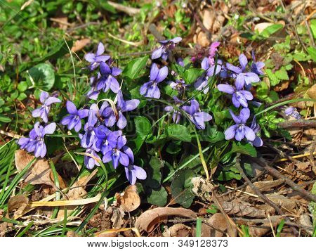 Viola Canina, Common Name Heath Dog Violet,