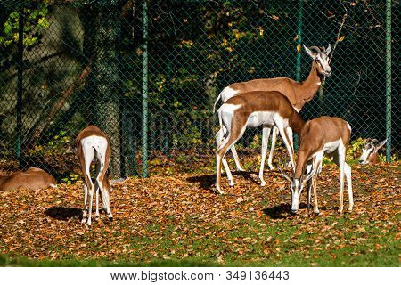 Dama Gazelle, Gazella Dama Mhorr Or Mhorr Gazelle Is A Species Of Gazelle