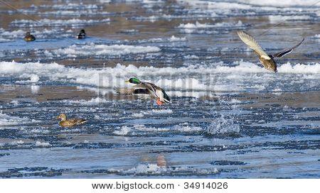 Icy Mallards