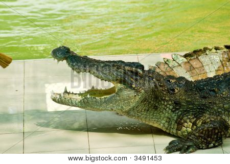 Crocodile Show In Action