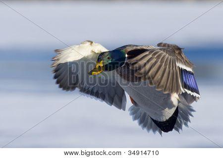 Flying Mallard