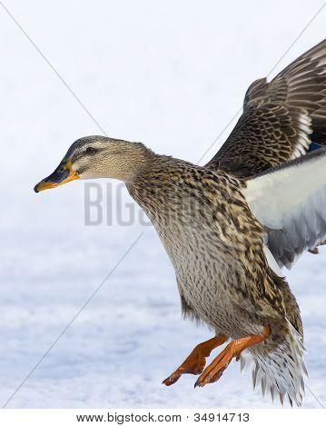 Landing Hen Mallard
