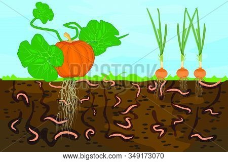 Ground Cutaway With Earthworms And Vegetable. Earthworms In Garden Soil. Air And Water Passage In Th