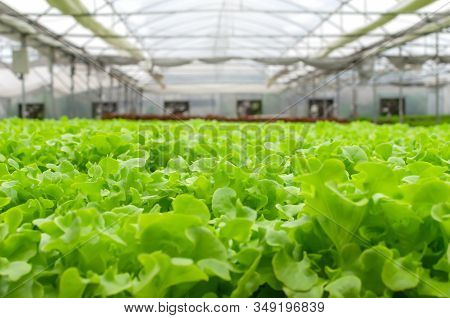 Image View Of Indoor Organic Hydroponic Fresh Green Vegetables Produce In Greenhouse Garden Nursery