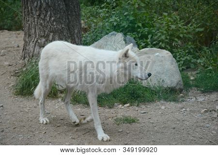 Summer Capture Of A North American Arctic Wolf Gradually Walking Along A Bare Ground Path Thru A Woo