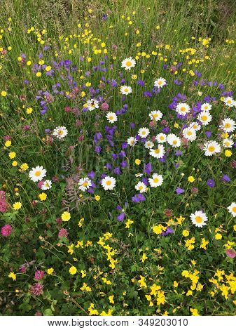 Summer Meadow Full Of Green, Violet And Yellow Flowers